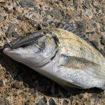 奄美大島の釣り旅行記【2019年4月】チヌを釣る