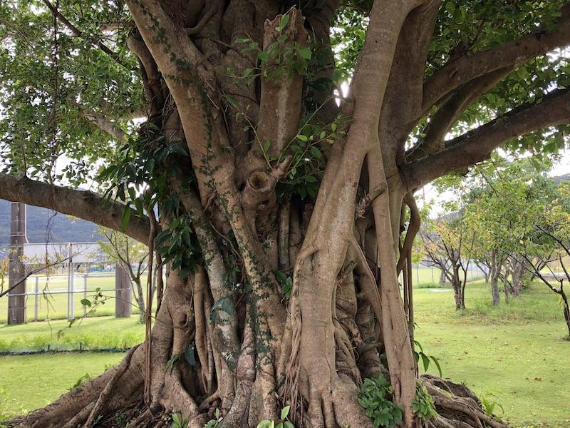 宇検村のガジュマルの木